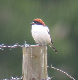 6201-Woodchat-CS.JPG (12260 bytes)