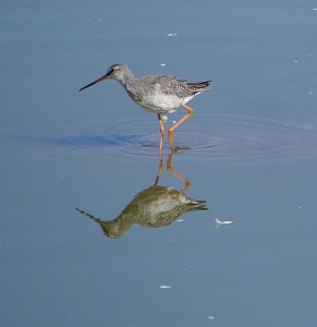 P1170768-Spotted Redshank-800