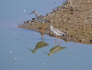 P1170828-Spotted Redshank-1200