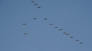 P1190371-Pink-footed Geese-1000
