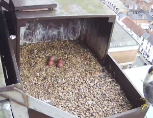 Peregrine-video685-1200