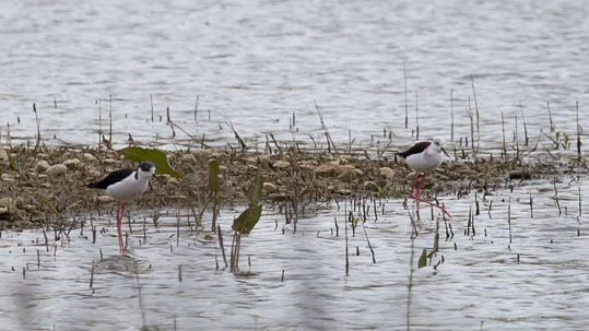 Black-winged Stilt-PG