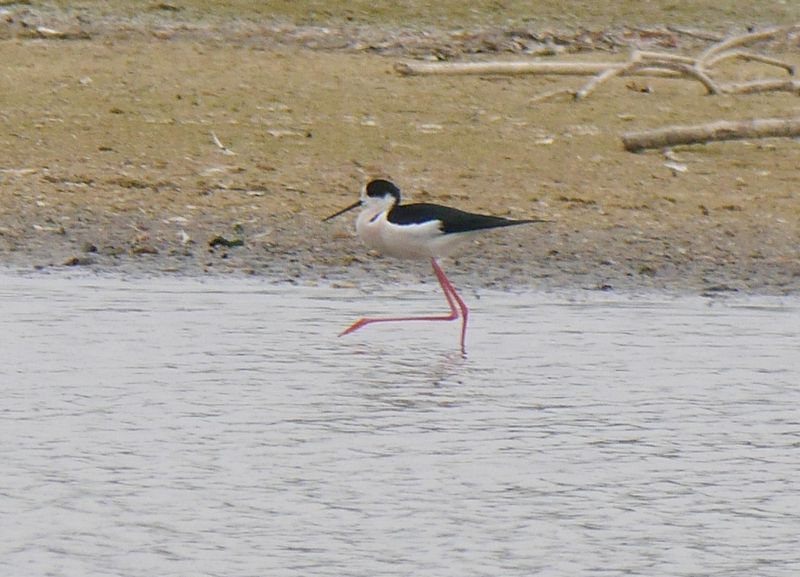 p1300893-black-winged-stilt-800
